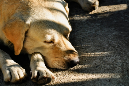 Dog Sick, Sleep Dog Relax Alone, Brown Dog Is Sleeping, Brown Do